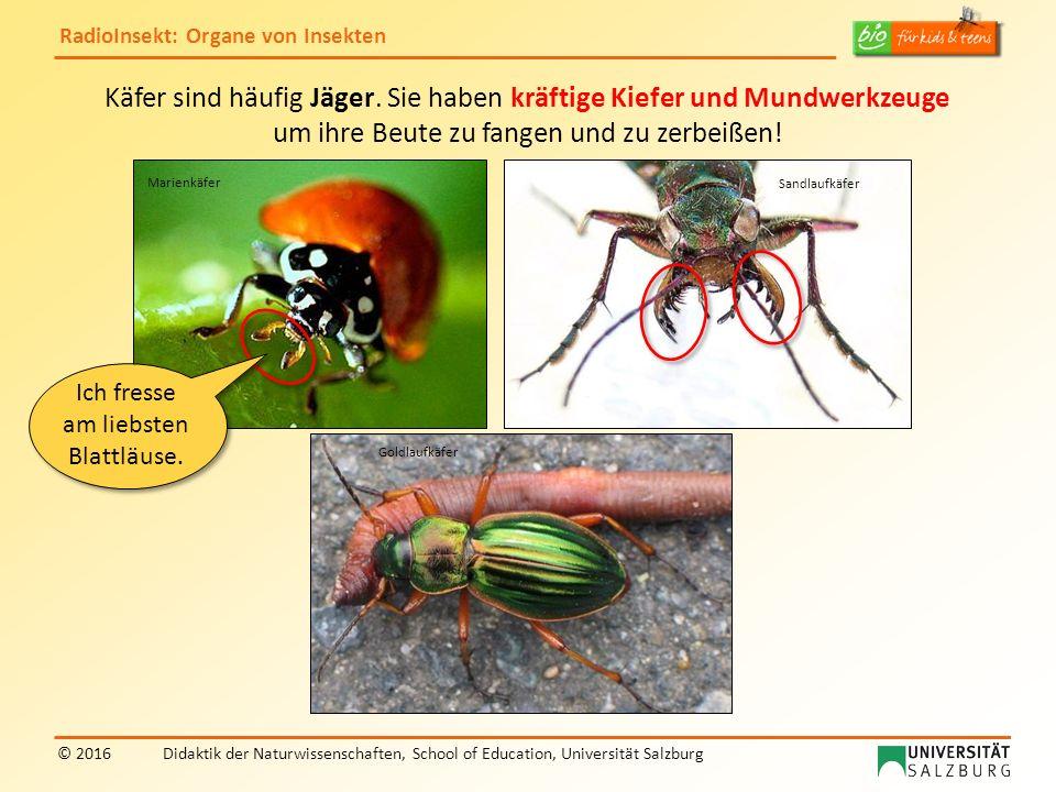 RadioInsekt: Organe von Insekten © 2016Didaktik der Naturwissenschaften, School of Education, Universität Salzburg Käfer sind häufig Jäger. Sie haben