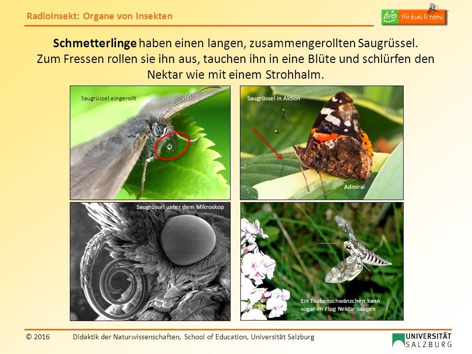 RadioInsekt: Organe von Insekten © 2016Didaktik der Naturwissenschaften, School of Education, Universität Salzburg Schmetterlinge haben einen langen, zusammengerollten Saugrüssel.
