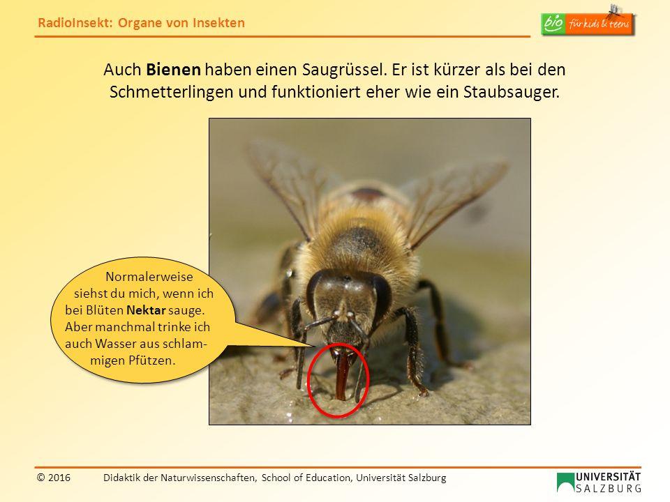 RadioInsekt: Organe von Insekten © 2016Didaktik der Naturwissenschaften, School of Education, Universität Salzburg Auch Bienen haben einen Saugrüssel.