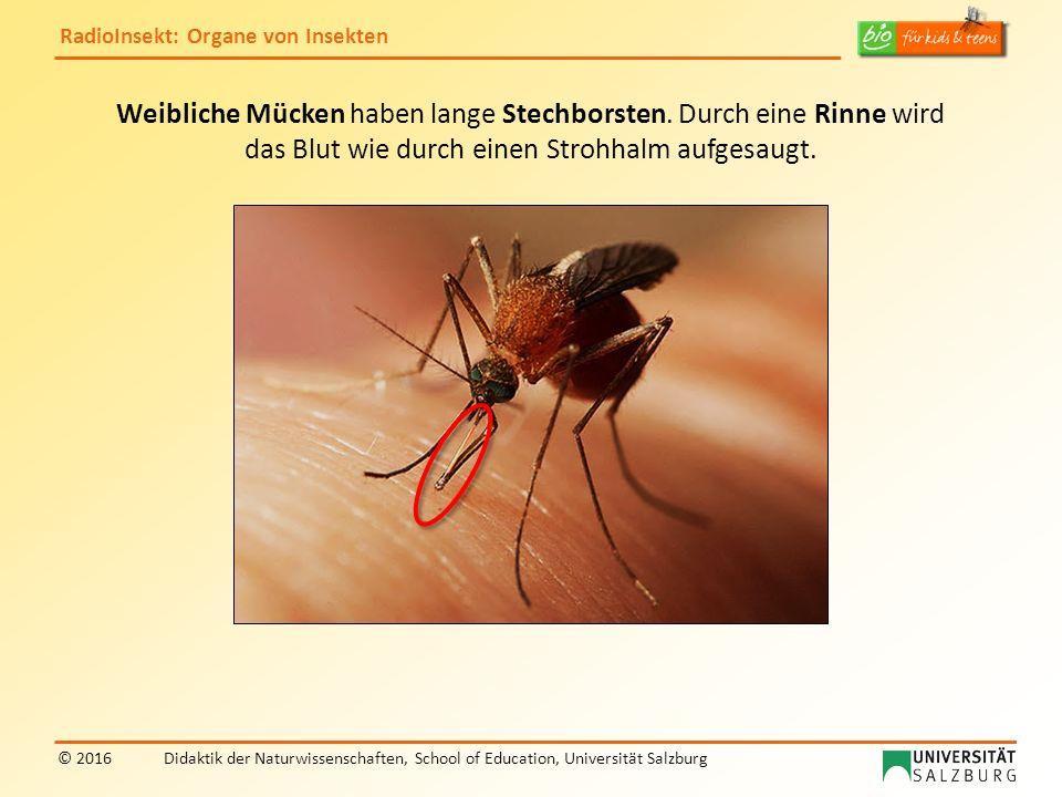 RadioInsekt: Organe von Insekten © 2016Didaktik der Naturwissenschaften, School of Education, Universität Salzburg Weibliche Mücken haben lange Stechborsten.