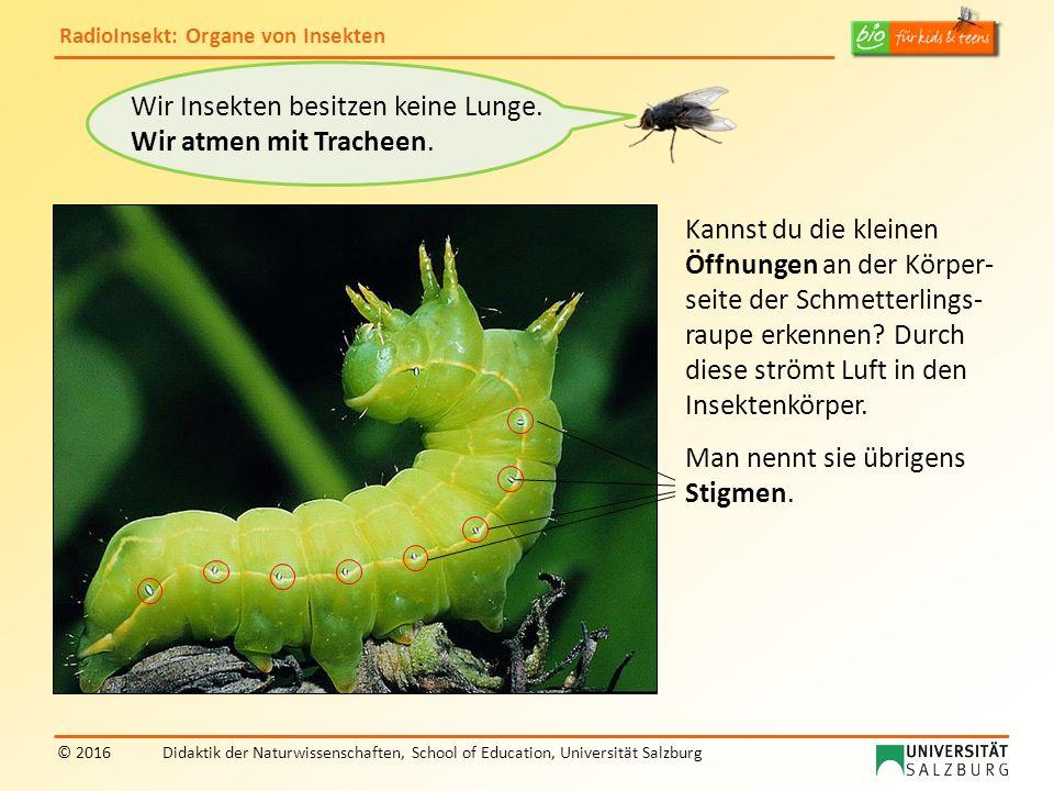 RadioInsekt: Organe von Insekten © 2016Didaktik der Naturwissenschaften, School of Education, Universität Salzburg Wir Insekten besitzen keine Lunge.