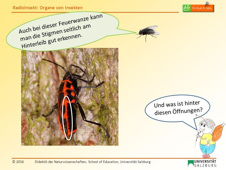RadioInsekt: Organe von Insekten © 2016Didaktik der Naturwissenschaften, School of Education, Universität Salzburg Auch bei dieser Feuerwanze kann man die Stigmen seitlich am Hinterleib gut erkennen.