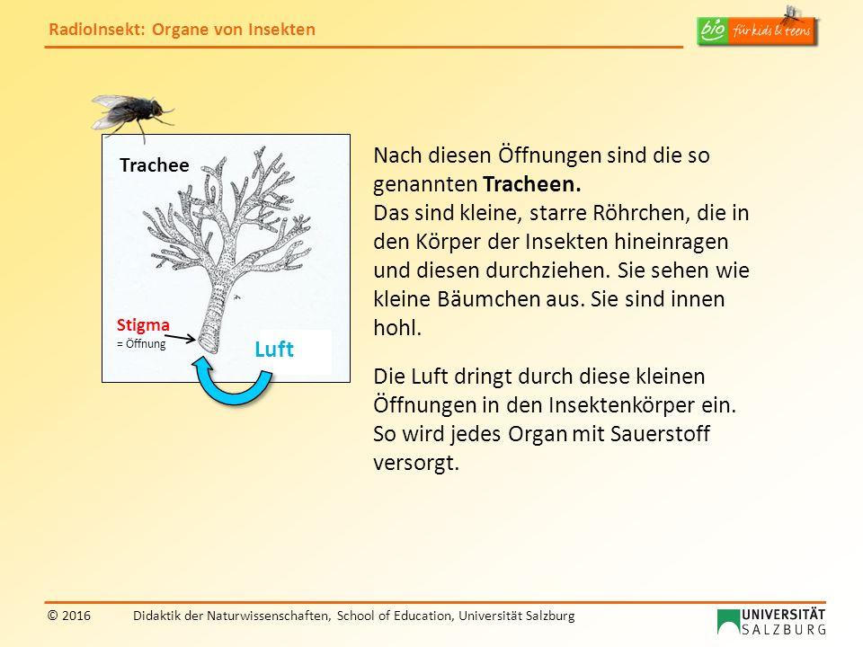 RadioInsekt: Organe von Insekten © 2016Didaktik der Naturwissenschaften, School of Education, Universität Salzburg Nach diesen Öffnungen sind die so genannten Tracheen.