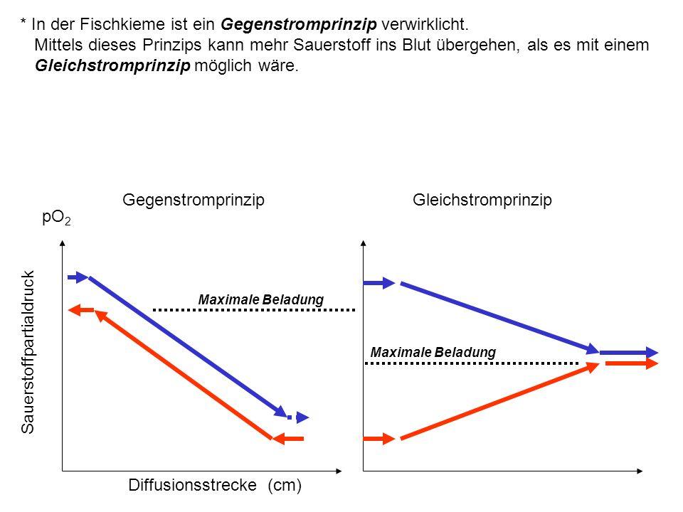Diffusionsstrecke (cm) Sauerstoffpartialdruck pO 2 GegenstromprinzipGleichstromprinzip Maximale Beladung * In der Fischkieme ist ein Gegenstromprinzip