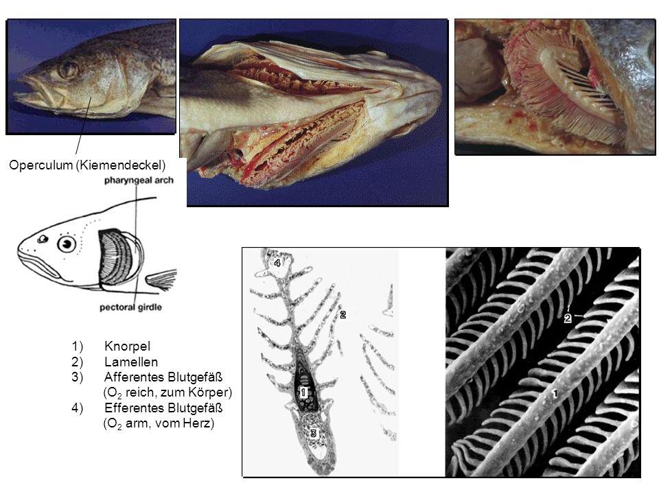 1)Knorpel 2)Lamellen 3)Afferentes Blutgefäß (O 2 reich, zum Körper) 4)Efferentes Blutgefäß (O 2 arm, vom Herz) Operculum (Kiemendeckel)