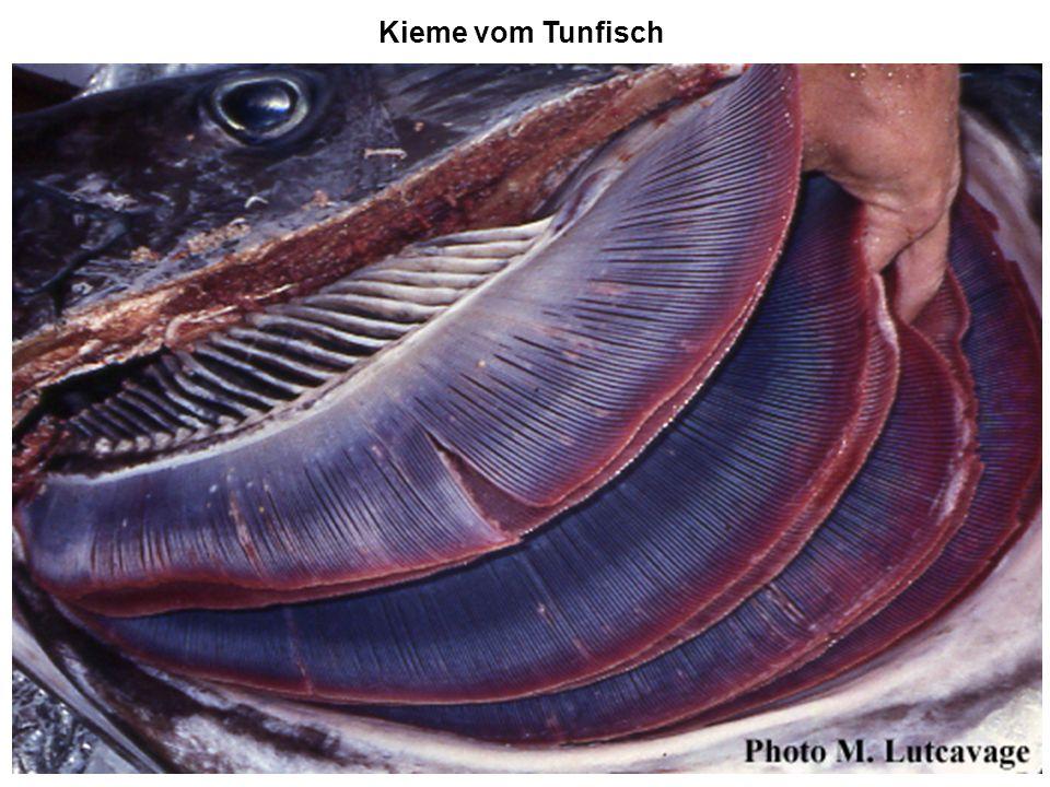 Kieme vom Tunfisch