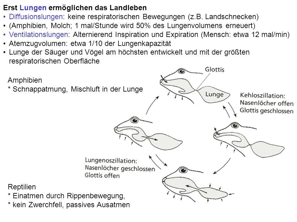 Erst Lungen ermöglichen das Landleben Diffusionslungen: keine respiratorischen Bewegungen (z.B. Landschnecken) (Amphibien, Molch; 1 mal/Stunde wird 50