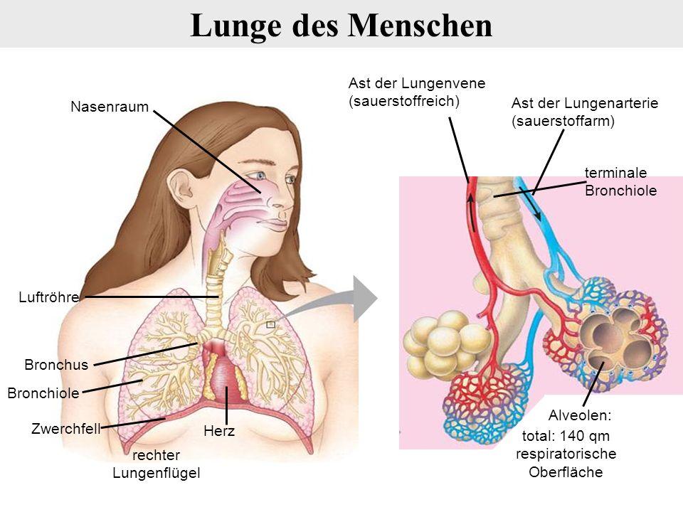 Ast der Lungenvene (sauerstoffreich) terminale Bronchiole Ast der Lungenarterie (sauerstoffarm) Alveolen: Herz Nasenraum Luftröhre Zwerchfell Bronchiole Bronchus rechter Lungenflügel Lunge des Menschen total: 140 qm respiratorische Oberfläche
