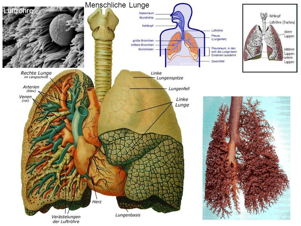 Menschliche Lunge Luftröhre