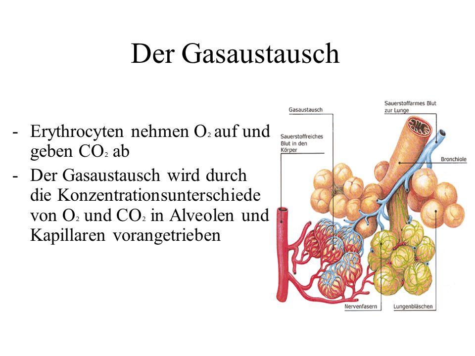 Der Gasaustausch -Erythrocyten nehmen O ² auf und geben CO ² ab -Der Gasaustausch wird durch die Konzentrationsunterschiede von O ² und CO ² in Alveolen und Kapillaren vorangetrieben