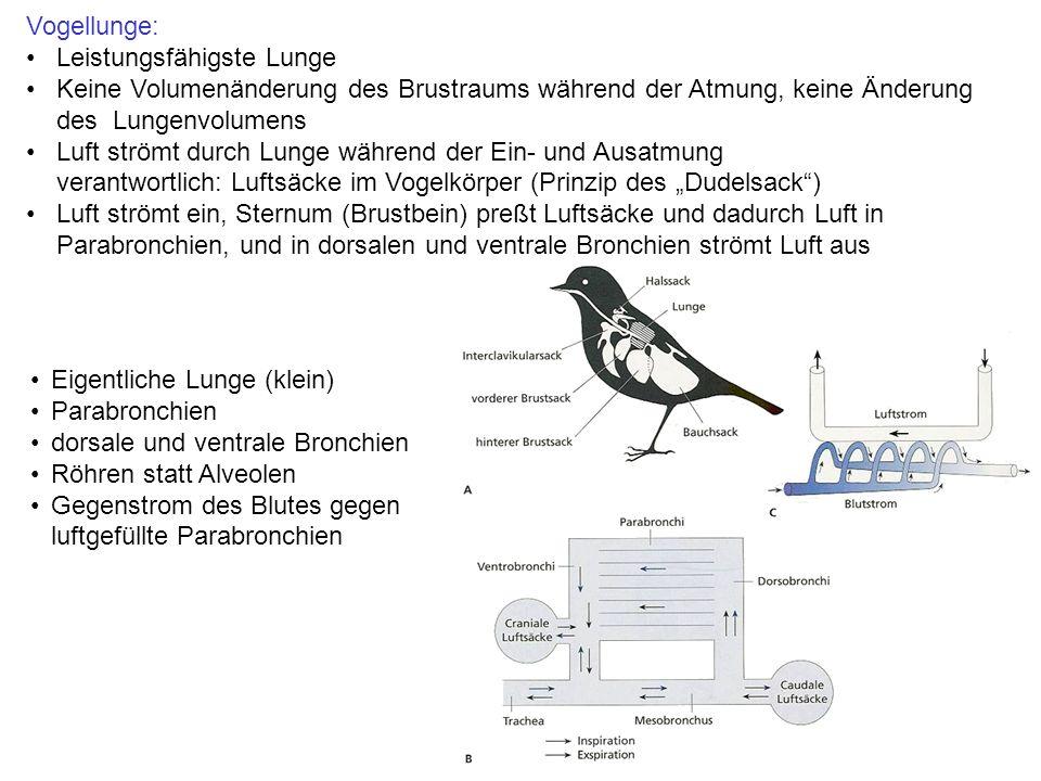 """Eigentliche Lunge (klein) Parabronchien dorsale und ventrale Bronchien Röhren statt Alveolen Gegenstrom des Blutes gegen luftgefüllte Parabronchien Vogellunge: Leistungsfähigste Lunge Keine Volumenänderung des Brustraums während der Atmung, keine Änderung des Lungenvolumens Luft strömt durch Lunge während der Ein- und Ausatmung verantwortlich: Luftsäcke im Vogelkörper (Prinzip des """"Dudelsack ) Luft strömt ein, Sternum (Brustbein) preßt Luftsäcke und dadurch Luft in Parabronchien, und in dorsalen und ventrale Bronchien strömt Luft aus"""