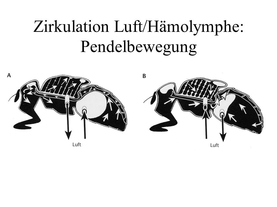 Zirkulation Luft/Hämolymphe: Pendelbewegung