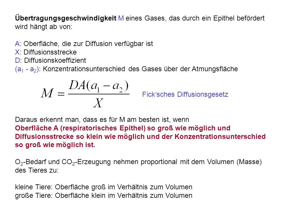 Übertragungsgeschwindigkeit M eines Gases, das durch ein Epithel befördert wird hängt ab von: A: Oberfläche, die zur Diffusion verfügbar ist X: Diffusionsstrecke D: Diffusionskoeffizient (a 1 - a 2 ): Konzentrationsunterschied des Gases über der Atmungsfläche Fick'sches Diffusionsgesetz Daraus erkennt man, dass es für M am besten ist, wenn Oberfläche A (respiratorisches Epithel) so groß wie möglich und Diffusionsstrecke so klein wie möglich und der Konzentrationsunterschied so groß wie möglich ist.