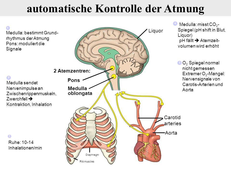 Pons 2 Atemzentren: Medulla oblongata Diaphragm Carotid arteries Aorta Liquor Rib muscles Ruhe: 10-14 Inhalationen/min Medulla: misst CO 2 - Spiegel (pH shift in Blut, Liquor) pH fällt  Atemzeit- volumen wird erhöht Medulla: bestimmt Grund- rhythmus der Atmung Pons: moduliert die Signale 1 Medulla sendet Nervenimpulse an Zwischenrippenmuskeln, Zwerchfell  Kontraktion, Inhalation 2 O 2 Spiegel normal nicht gemessen Extremer O 2 -Mangel: Nervensignale von Carotis-Arterien und Aorta 5 3 4 automatische Kontrolle der Atmung