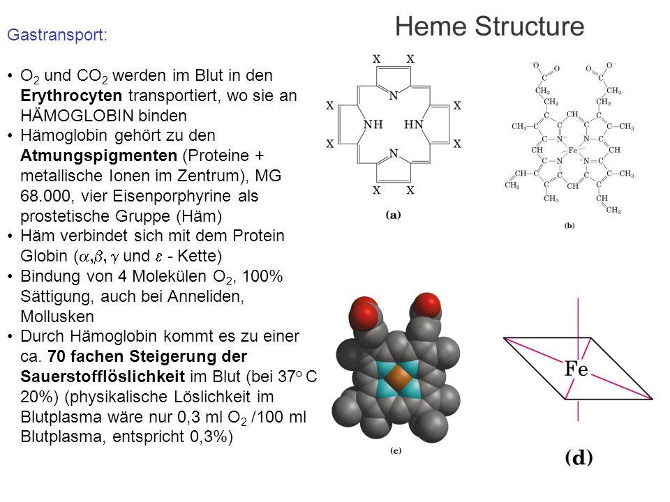 Gastransport: O 2 und CO 2 werden im Blut in den Erythrocyten transportiert, wo sie an HÄMOGLOBIN binden Hämoglobin gehört zu den Atmungspigmenten (Proteine + metallische Ionen im Zentrum), MG 68.000, vier Eisenporphyrine als prostetische Gruppe (Häm) Häm verbindet sich mit dem Protein Globin (  und  - Kette) Bindung von 4 Molekülen O 2, 100% Sättigung, auch bei Anneliden, Mollusken Durch Hämoglobin kommt es zu einer ca.