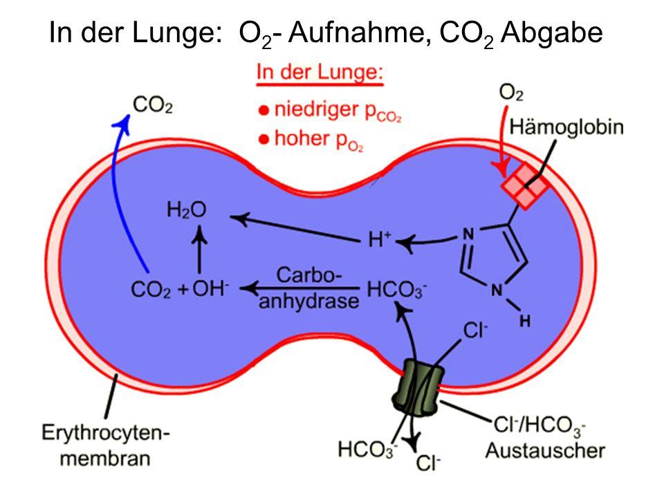 In der Lunge: O 2 - Aufnahme, CO 2 Abgabe