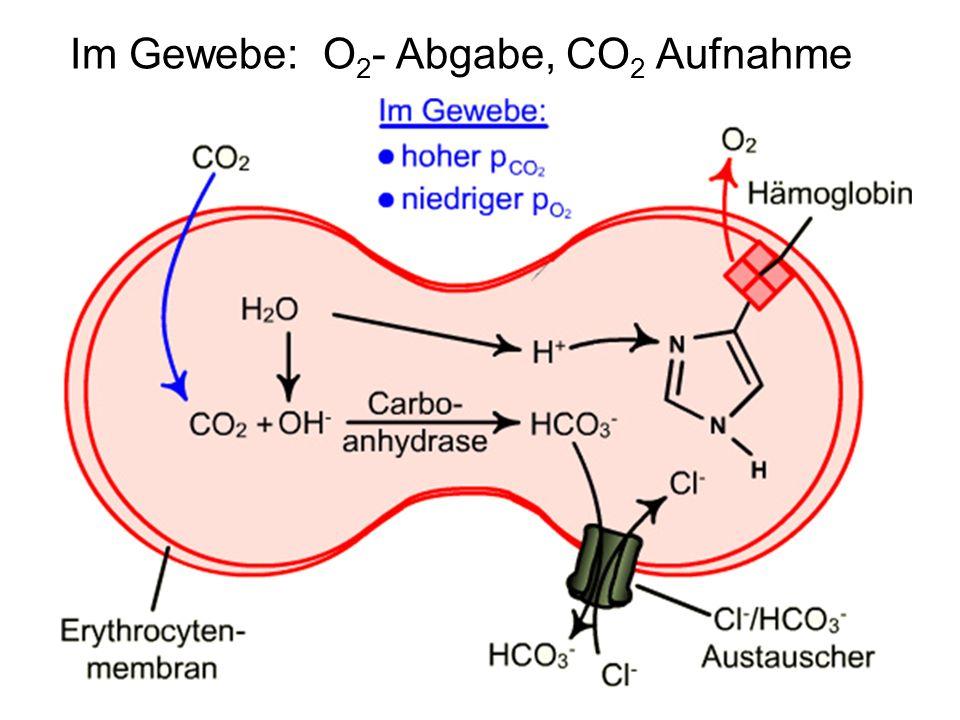 Im Gewebe: O 2 - Abgabe, CO 2 Aufnahme