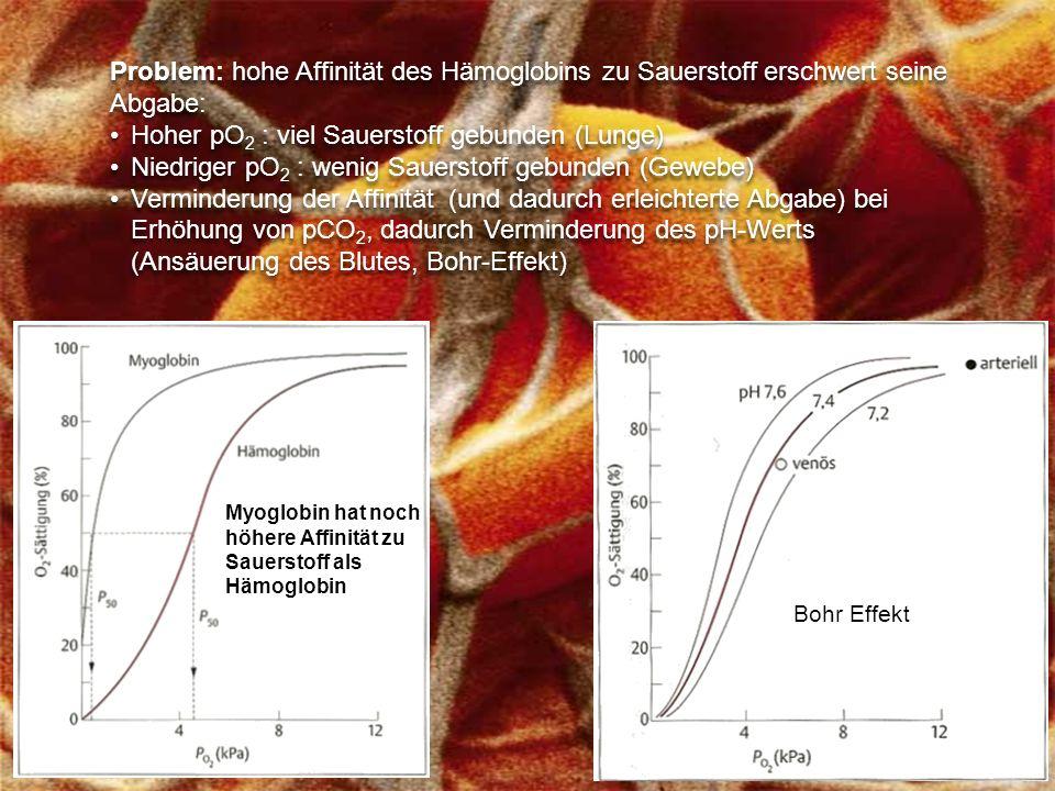 Problem: hohe Affinität des Hämoglobins zu Sauerstoff erschwert seine Abgabe: Hoher pO 2 : viel Sauerstoff gebunden (Lunge) Niedriger pO 2 : wenig Sauerstoff gebunden (Gewebe) Verminderung der Affinität (und dadurch erleichterte Abgabe) bei Erhöhung von pCO 2, dadurch Verminderung des pH-Werts (Ansäuerung des Blutes, Bohr-Effekt) Problem: hohe Affinität des Hämoglobins zu Sauerstoff erschwert seine Abgabe: Hoher pO 2 : viel Sauerstoff gebunden (Lunge) Niedriger pO 2 : wenig Sauerstoff gebunden (Gewebe) Verminderung der Affinität (und dadurch erleichterte Abgabe) bei Erhöhung von pCO 2, dadurch Verminderung des pH-Werts (Ansäuerung des Blutes, Bohr-Effekt) Bohr Effekt Myoglobin hat noch höhere Affinität zu Sauerstoff als Hämoglobin