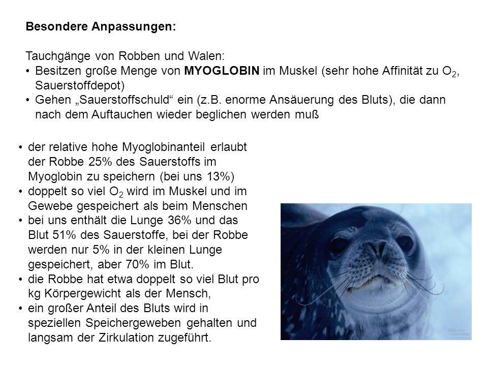 """Besondere Anpassungen: Tauchgänge von Robben und Walen: Besitzen große Menge von MYOGLOBIN im Muskel (sehr hohe Affinität zu O 2, Sauerstoffdepot) Gehen """"Sauerstoffschuld ein (z.B."""