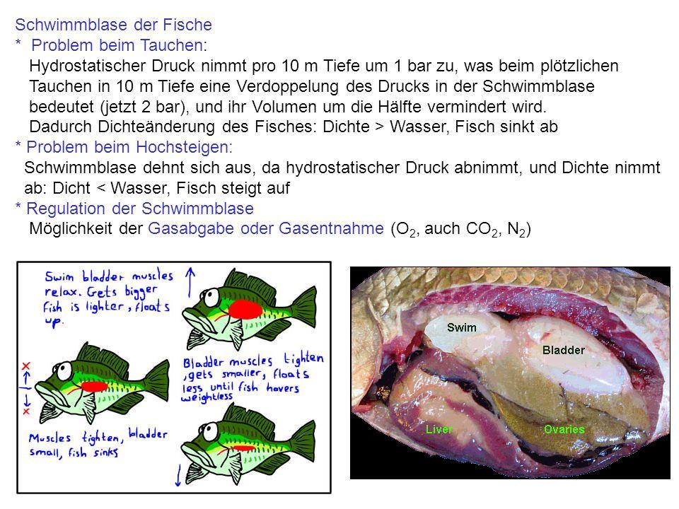Schwimmblase der Fische * Problem beim Tauchen: Hydrostatischer Druck nimmt pro 10 m Tiefe um 1 bar zu, was beim plötzlichen Tauchen in 10 m Tiefe eine Verdoppelung des Drucks in der Schwimmblase bedeutet (jetzt 2 bar), und ihr Volumen um die Hälfte vermindert wird.