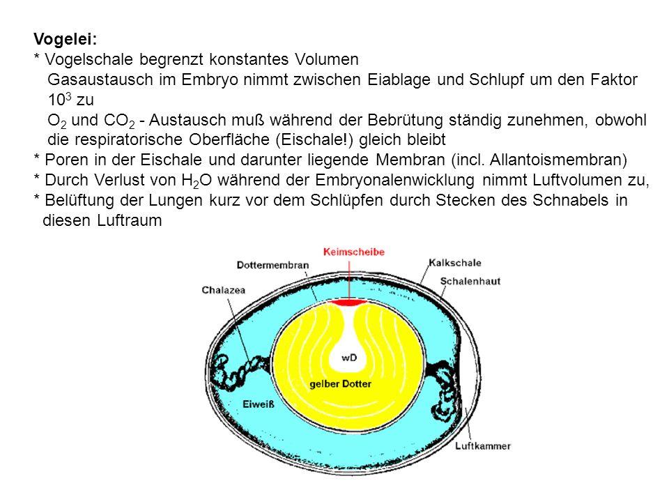 Vogelei: * Vogelschale begrenzt konstantes Volumen Gasaustausch im Embryo nimmt zwischen Eiablage und Schlupf um den Faktor 10 3 zu O 2 und CO 2 - Austausch muß während der Bebrütung ständig zunehmen, obwohl die respiratorische Oberfläche (Eischale!) gleich bleibt * Poren in der Eischale und darunter liegende Membran (incl.