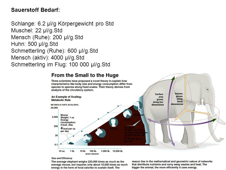 Abhängigkeit des O 2 Verbrauchs vieler verschiedener Tiere in Abhängigkeit vom Körpergewicht Rubner Regel: größere Tiere haben relativ geringeren Energieumsatz; wenn auf Oberfläche bezogen, dann eine Konstante: ca 1000 Kcal/m 2 Oberfläche