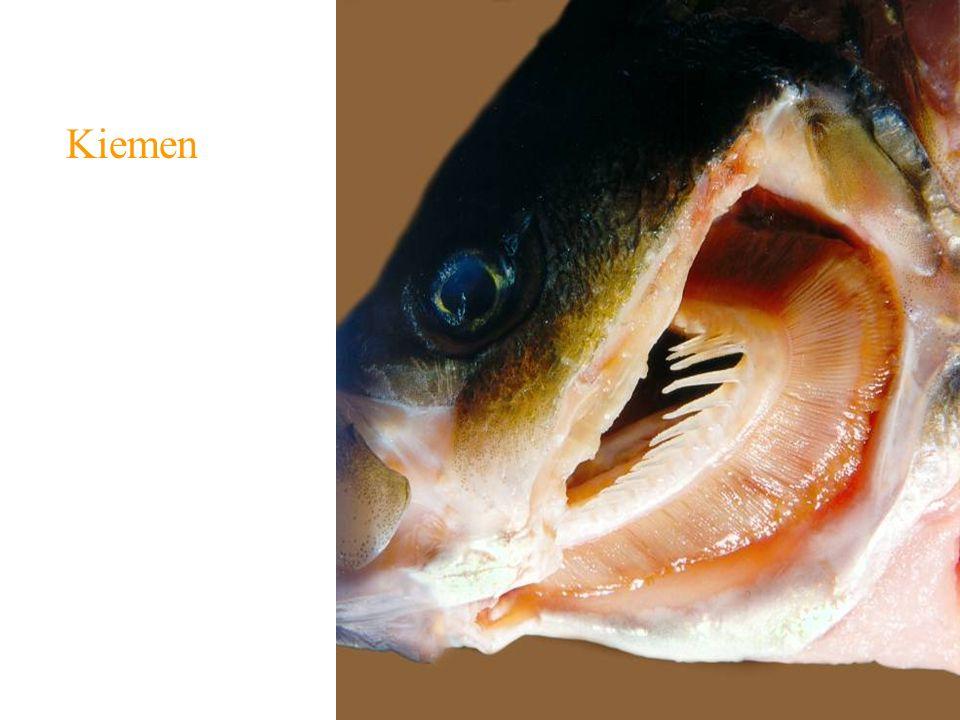 Wasserlebende Tiere: Kiemen Wirbellose Tiere: Polychaeten (viele müssen einen Wasserstrom aktiv erzeugen, z.B.