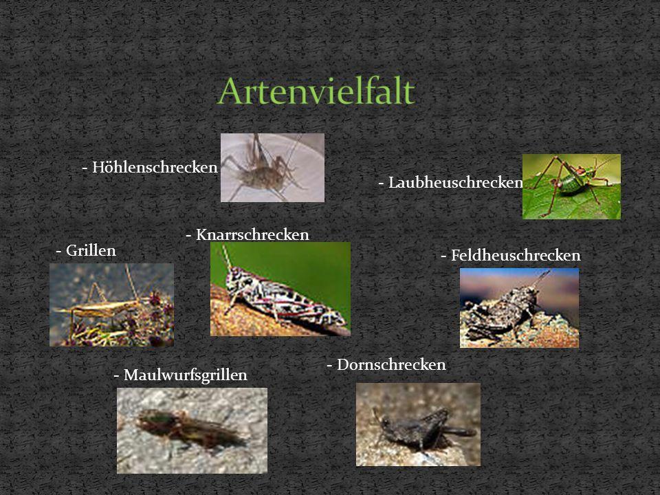 - Laubheuschrecken - Höhlenschrecken - Grillen - Maulwurfsgrillen - Knarrschrecken - Dornschrecken - Feldheuschrecken