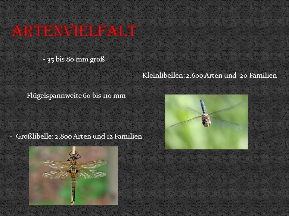 - Kleinlibellen: 2.600 Arten und 20 Familien - Großlibelle: 2.800 Arten und 12 Familien - 35 bis 80 mm groß - Flügelspannweite 60 bis 110 mm