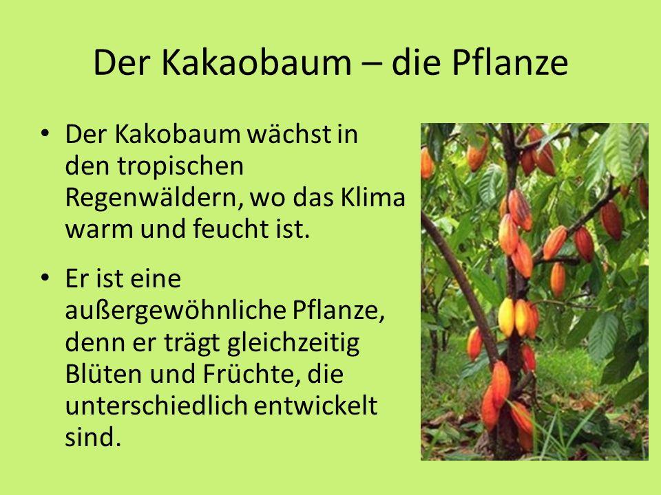 Der Kakaobaum – die Pflanze Der Kakobaum wächst in den tropischen Regenwäldern, wo das Klima warm und feucht ist.