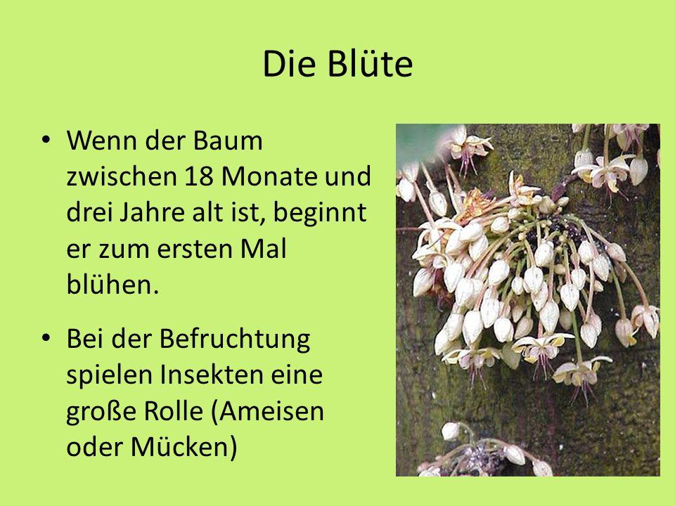 Die Blüte Wenn der Baum zwischen 18 Monate und drei Jahre alt ist, beginnt er zum ersten Mal blühen.