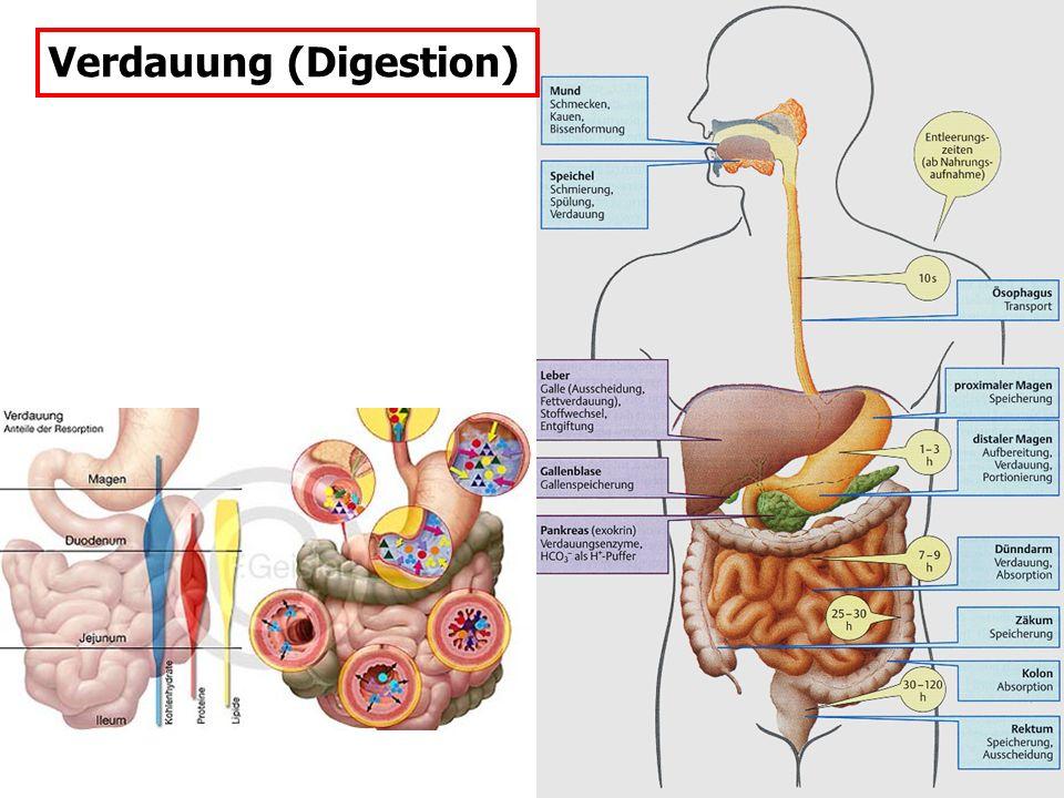 Verdauung (Digestion)