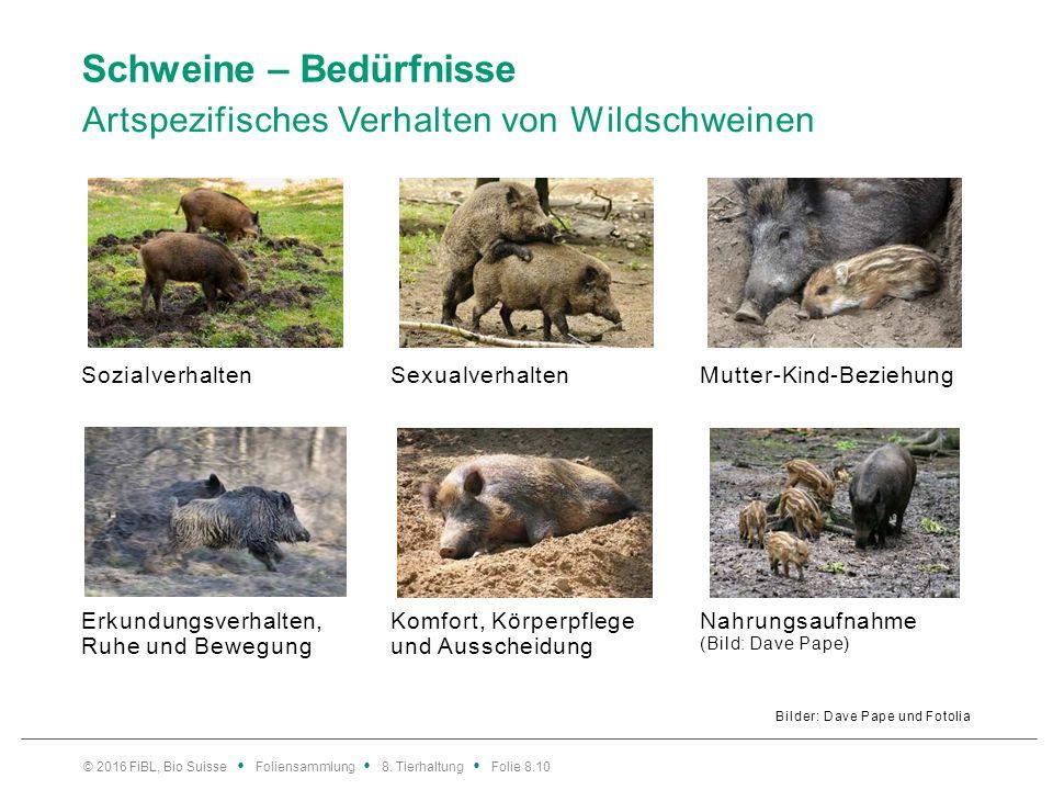 Schweine – Bedürfnisse Artspezifisches Verhalten von Wildschweinen Bilder: Dave Pape und Fotolia SozialverhaltenSexualverhaltenMutter-Kind-Beziehung E