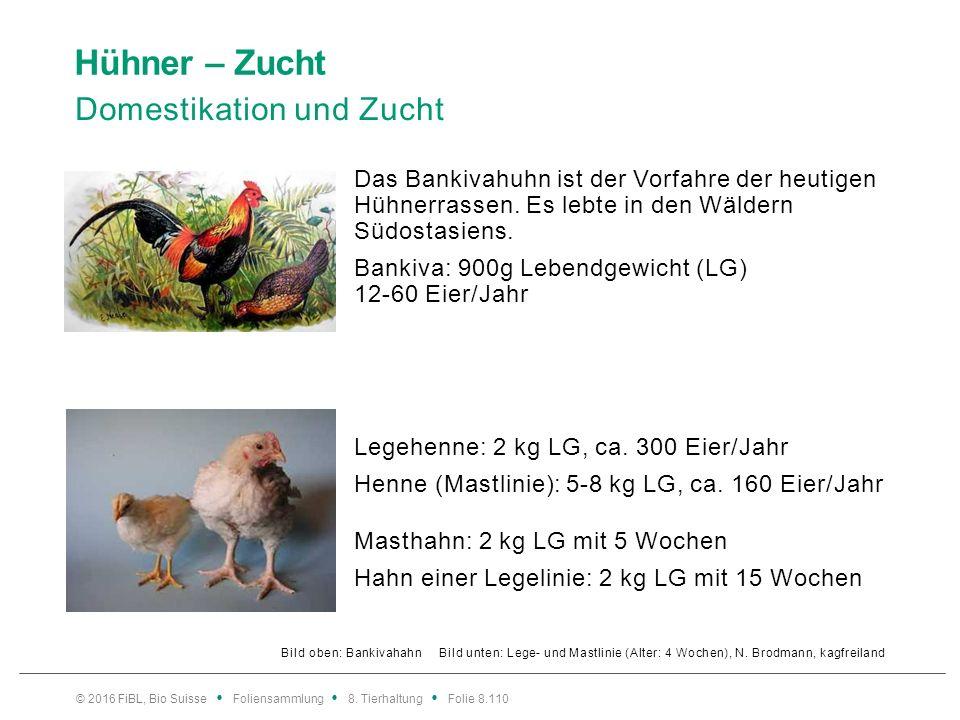 Hühner – Zucht Domestikation und Zucht Bild oben: Bankivahahn Bild unten: Lege- und Mastlinie (Alter: 4 Wochen), N. Brodmann, kagfreiland Legehenne: 2