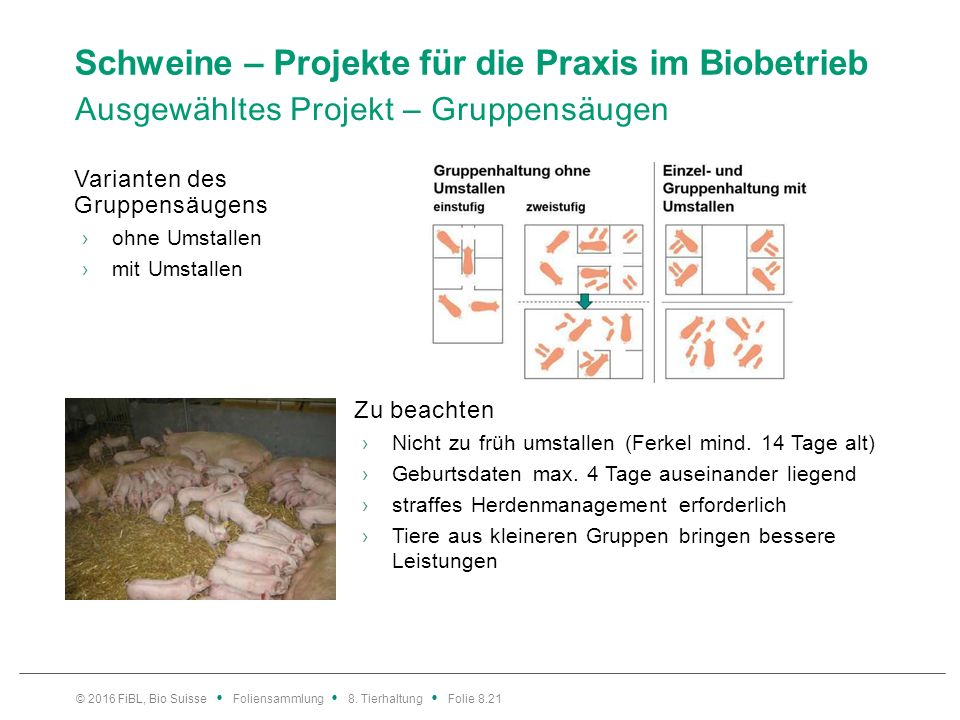 Schweine – Projekte für die Praxis im Biobetrieb Ausgewähltes Projekt – Gruppensäugen Varianten des Gruppensäugens ›ohne Umstallen ›mit Umstallen Zu b