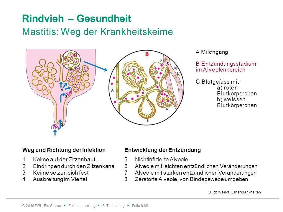 Rindvieh – Gesundheit Mastitis: Weg der Krankheitskeime Bild: Wendt, Euterkrankheiten Weg und Richtung der InfektionEntwicklung der Entzündung 1Keime