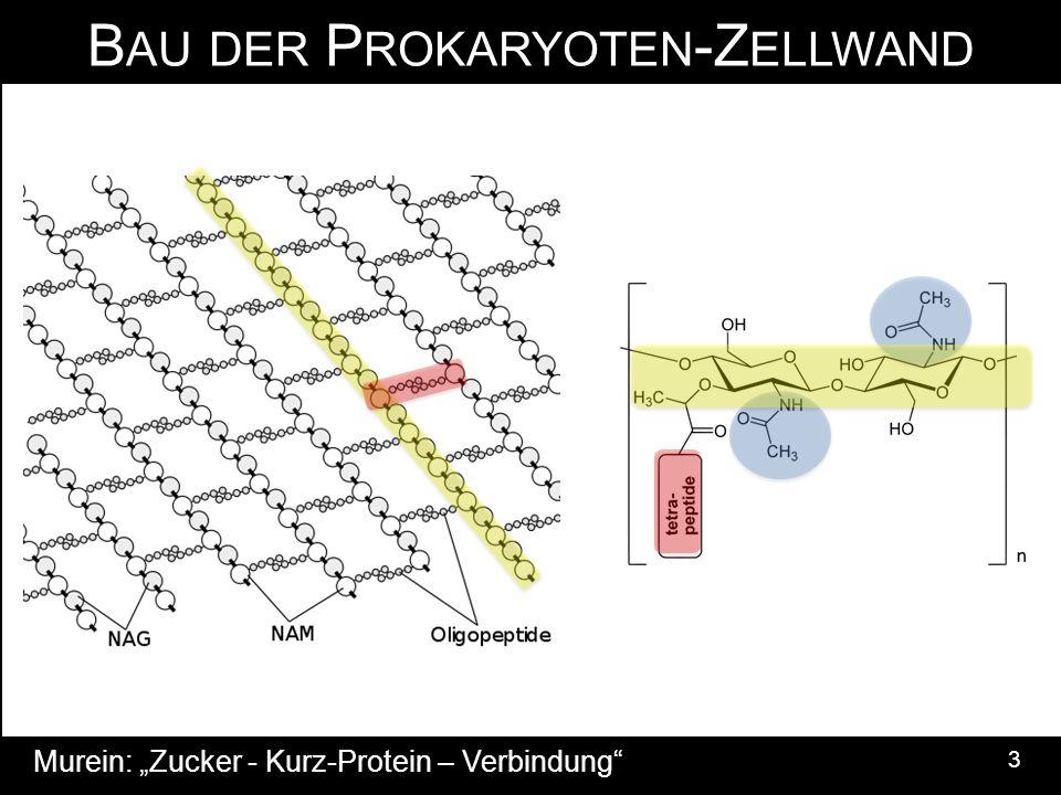 """B AU DER P ROKARYOTEN -Z ELLWAND 3 Murein: """"Zucker - Kurz-Protein – Verbindung"""