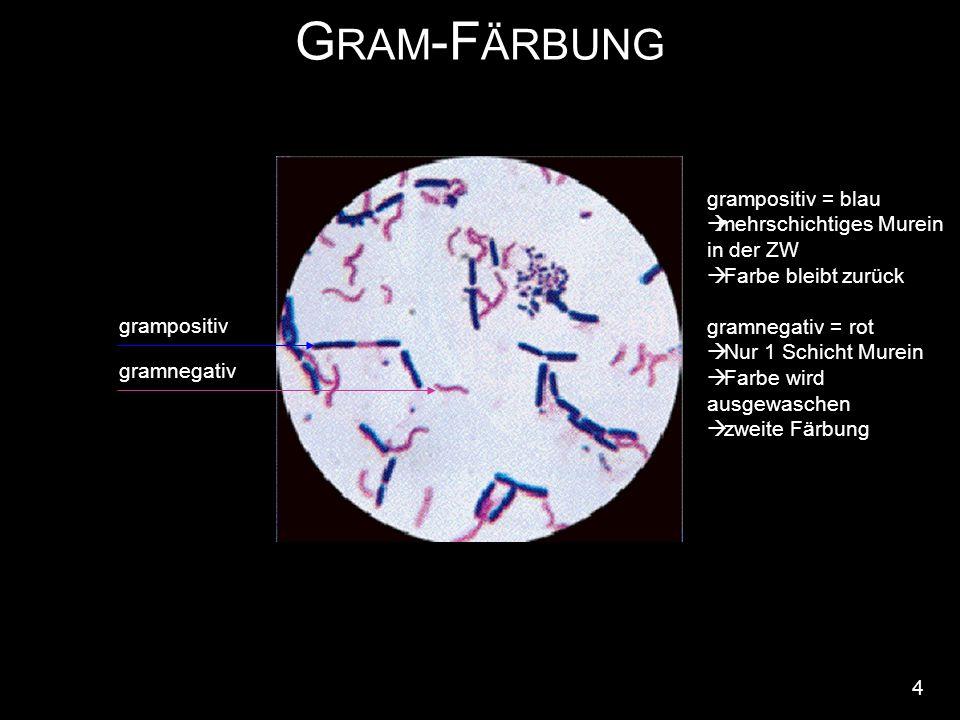 G RAM -F ÄRBUNG 4 grampositiv gramnegativ grampositiv = blau  mehrschichtiges Murein in der ZW  Farbe bleibt zurück gramnegativ = rot  Nur 1 Schicht Murein  Farbe wird ausgewaschen  zweite Färbung