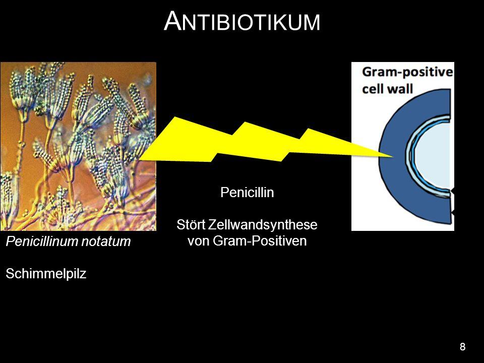 A NTIBIOTIKUM 8 Penicillin Stört Zellwandsynthese von Gram-Positiven Penicillinum notatum Schimmelpilz