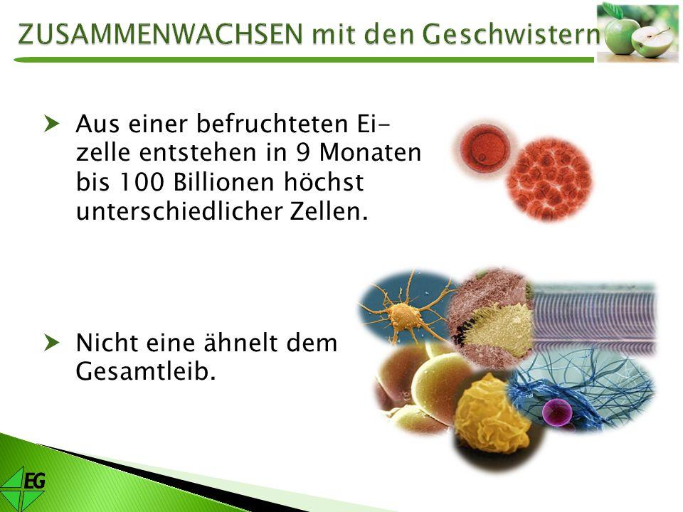  Aus einer befruchteten Ei- zelle entstehen in 9 Monaten bis 100 Billionen höchst unterschiedlicher Zellen.  Nicht eine ähnelt dem Gesamtleib.