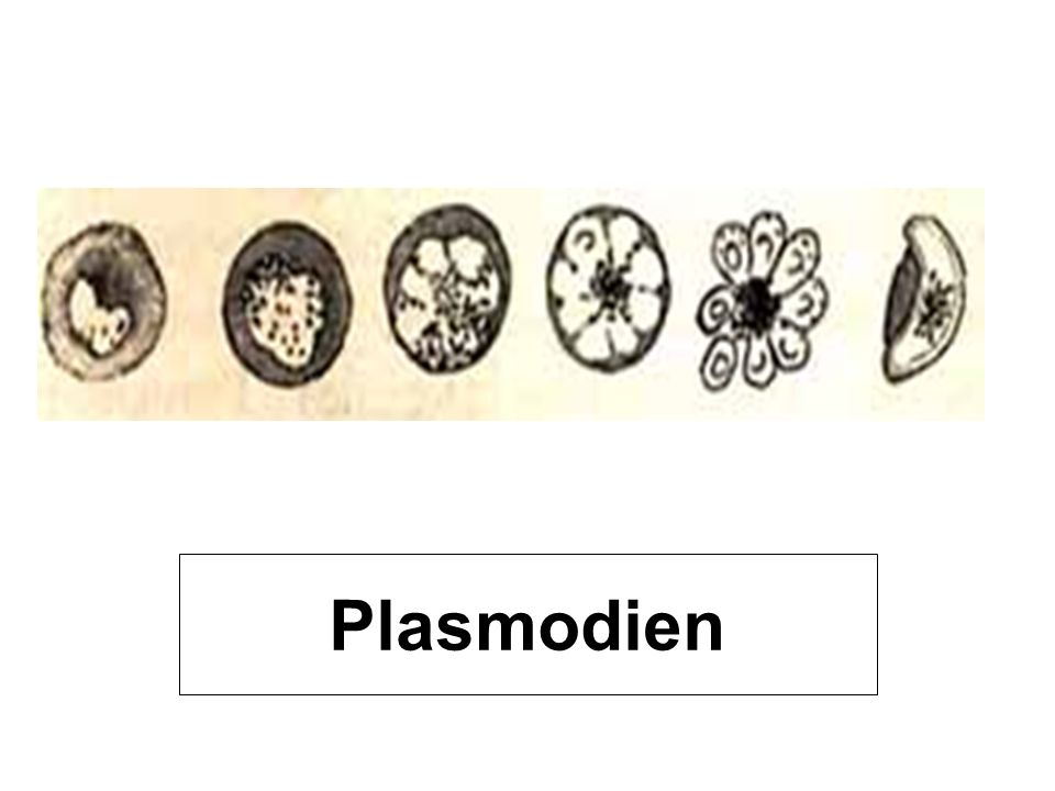 Plasmodien