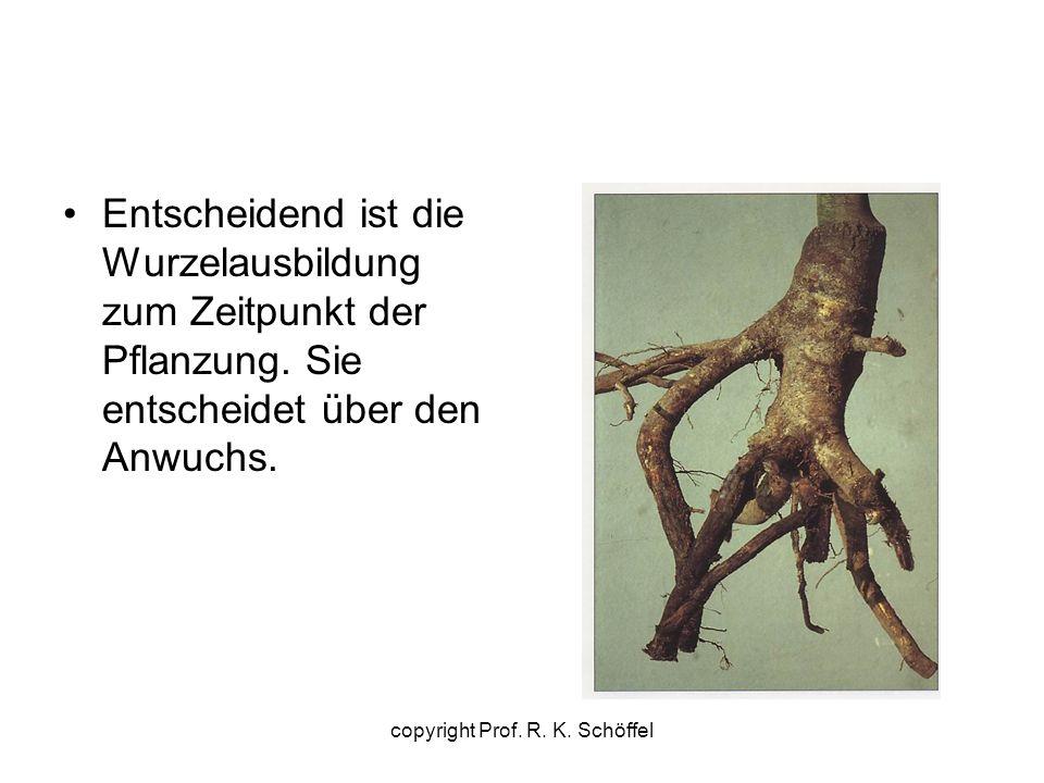 Entscheidend ist die Wurzelausbildung zum Zeitpunkt der Pflanzung. Sie entscheidet über den Anwuchs. copyright Prof. R. K. Schöffel