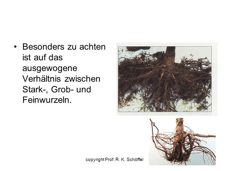 Besonders zu achten ist auf das ausgewogene Verhältnis zwischen Stark-, Grob- und Feinwurzeln. copyright Prof. R. K. Schöffel