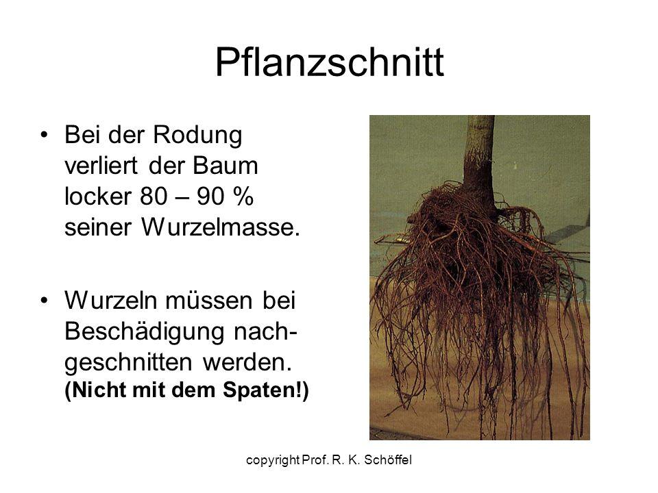 Pflanzschnitt Bei der Rodung verliert der Baum locker 80 – 90 % seiner Wurzelmasse. Wurzeln müssen bei Beschädigung nach- geschnitten werden. (Nicht m