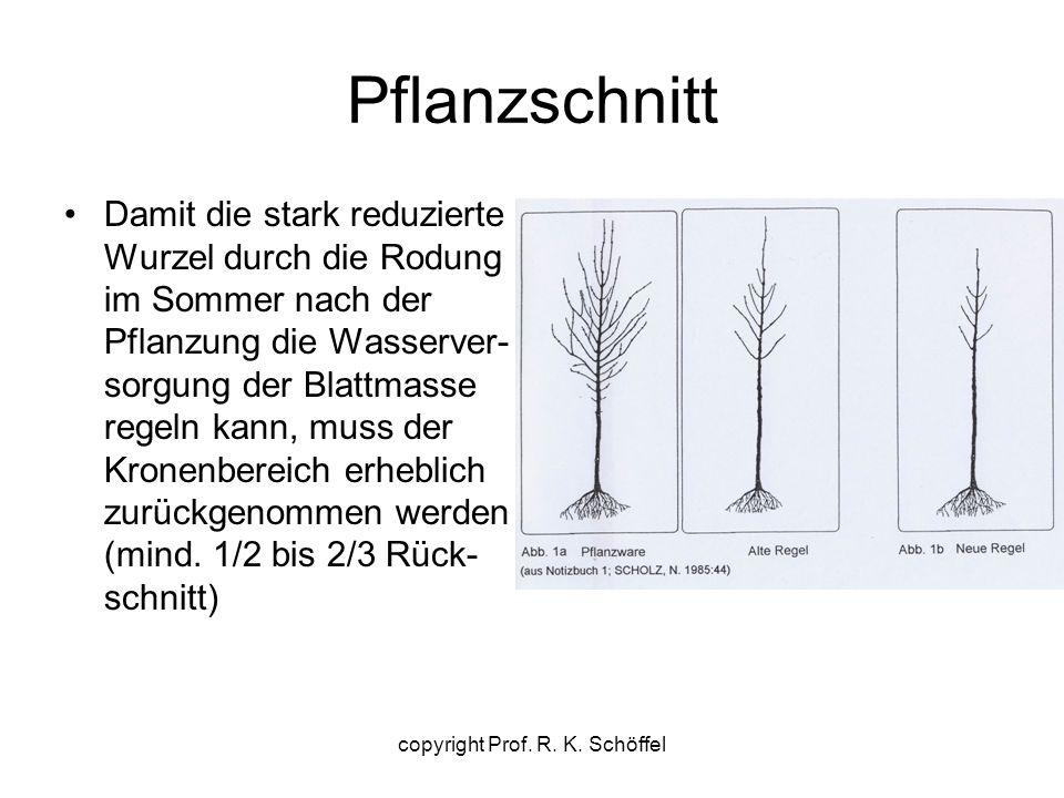 Pflanzschnitt Damit die stark reduzierte Wurzel durch die Rodung im Sommer nach der Pflanzung die Wasserver- sorgung der Blattmasse regeln kann, muss der Kronenbereich erheblich zurückgenommen werden (mind.