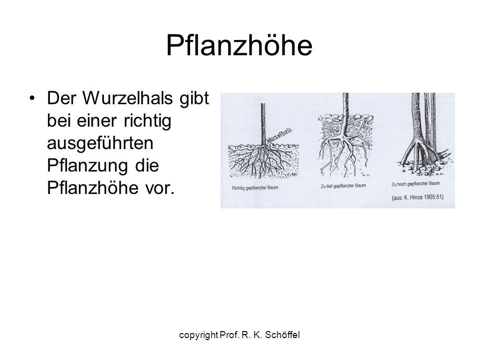 Pflanzhöhe Der Wurzelhals gibt bei einer richtig ausgeführten Pflanzung die Pflanzhöhe vor. copyright Prof. R. K. Schöffel