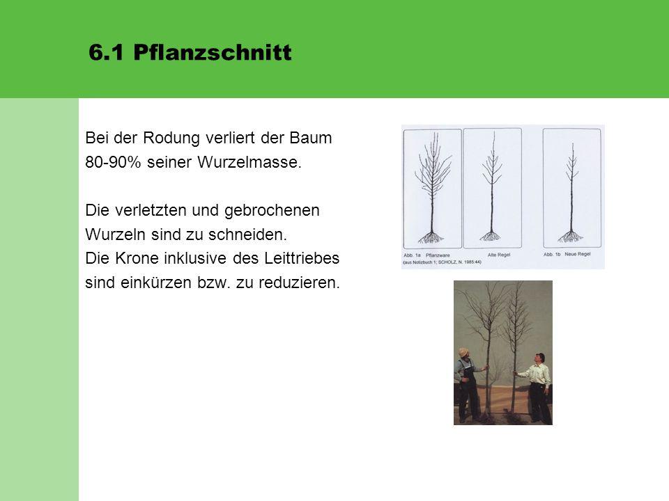 6.1 Pflanzschnitt Bei der Rodung verliert der Baum 80-90% seiner Wurzelmasse. Die verletzten und gebrochenen Wurzeln sind zu schneiden. Die Krone inkl