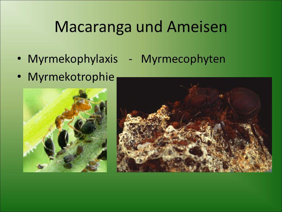 Macaranga und Ameisen Myrmekophylaxis - Myrmecophyten Myrmekotrophie