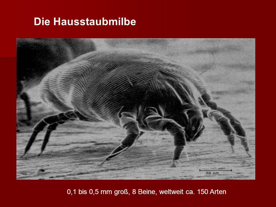 0,1 bis 0,5 mm groß, 8 Beine, weltweit ca. 150 Arten Die Hausstaubmilbe