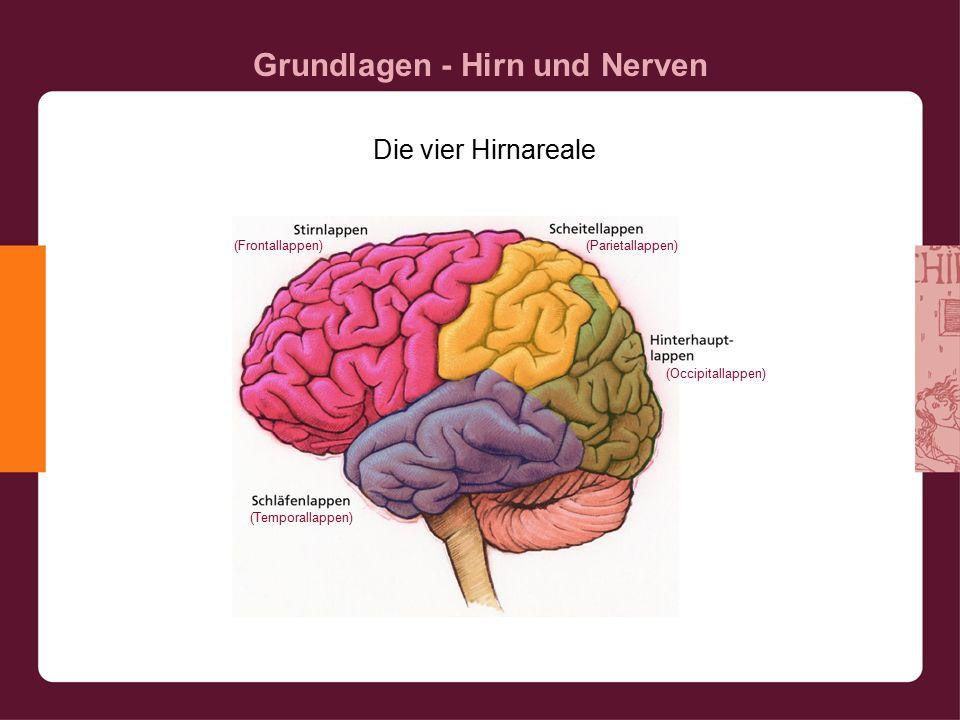 Grundlagen - Hirn und Nerven Die vier Hirnareale (Frontallappen) (Occipitallappen) (Parietallappen) (Temporallappen)